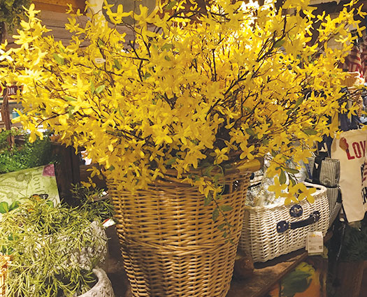 Easter Forsythia